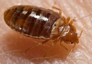 Knoxville pest control, Maryville pest control, bedbug, bed bug
