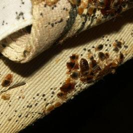 Maryville pest control, bedbug, bed bug,
