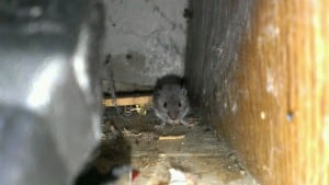 Knoxville pest control, Maryville pest control, Mouse,