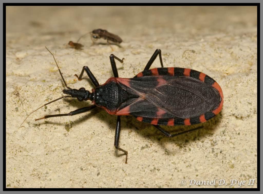 Phoenix Pest Control TN, Kissing bug, Daniel D. Dye II
