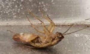 Knoxville Pest Control, dead roach