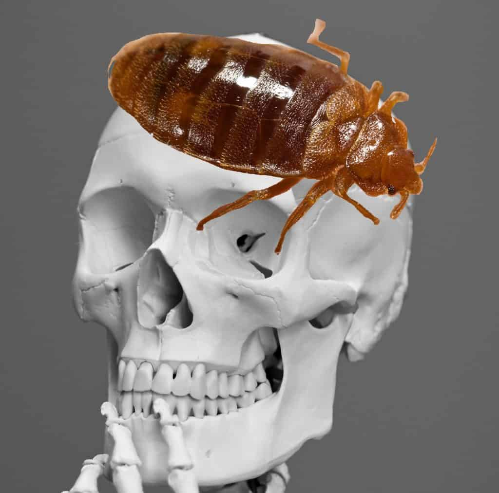 bed bug brain